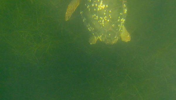 tartaruga-caregoni